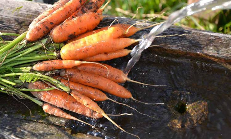 Organic carrots from the mountain farm Samer