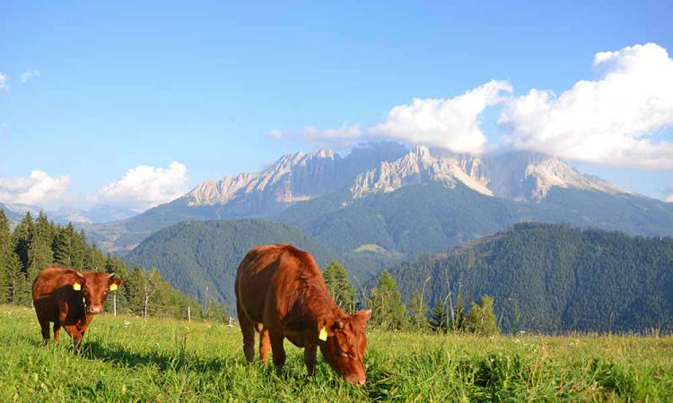 Dexter cattles on the mountain farm in South Tyrol