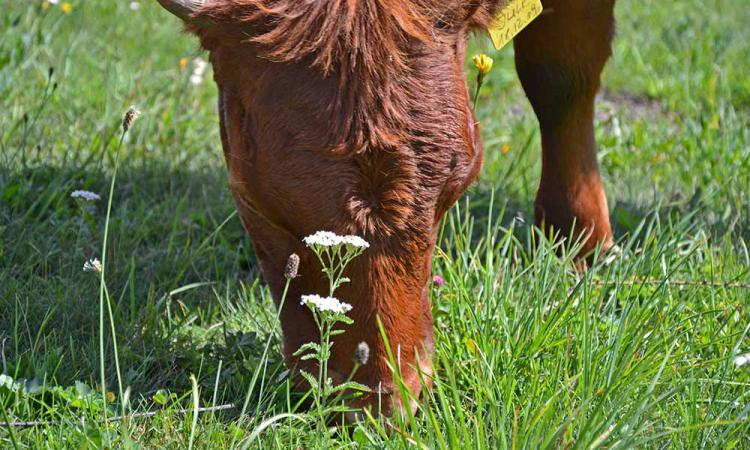 Dexter - cattle - the smallest cattles in Europe